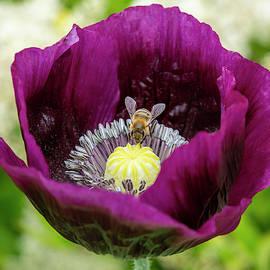 Purple Poppy with Bee by Bruce Frye