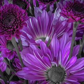 Purple Power Chrysanthem Selective Colorum  by Keith Smith