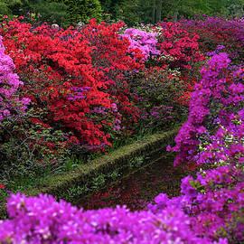 Jenny Rainbow - Purple Symphony of Spring Rhododendrons in Keukenhof