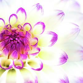 Purple Tinged Dahlia by Don Johnson