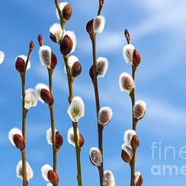 Pussy Willow Buds With Blue Sky by Wdnet Studio