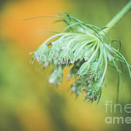 Queen Anne's bud by Claudia M Photography