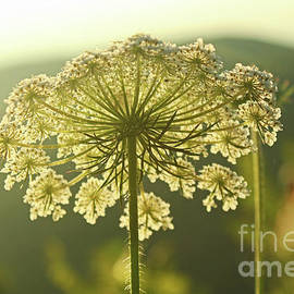 Queen Anne's Lace by Maili Page