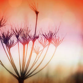 Queen Anne's Lace Winter Light by Carol Japp