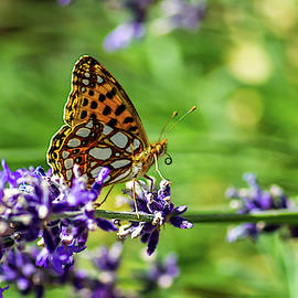 Queen of Spain fritillary in profile on the blue lavender by Torbjorn Swenelius