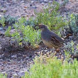 Quizzical Quail by Janet Marie