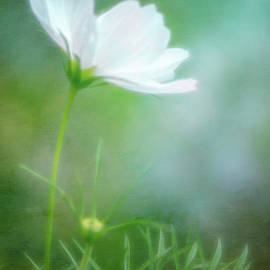 Radiant White Cosmos In The Evening Light by Anita Pollak