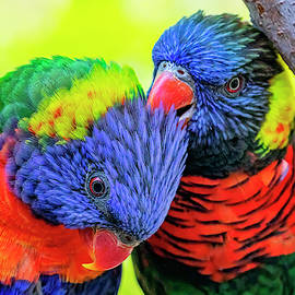 Rainbow Lorikeet Pair by Lowell Monke