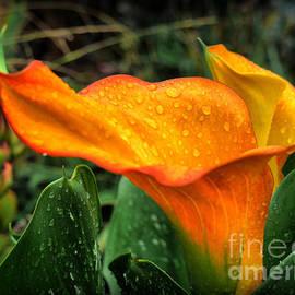 Lawrence Davis - Raindrops on a Calla ..1