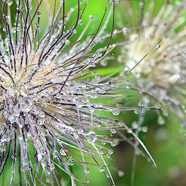 Raindrops On A Pasque Flower Seedhead by Sharon Talson