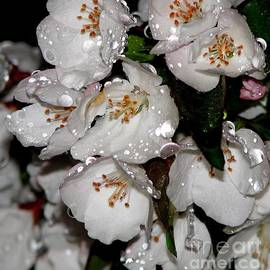 Raindrops On Crab Apple Blossoms By Rose Santucisofranko by Rose Santuci-Sofranko
