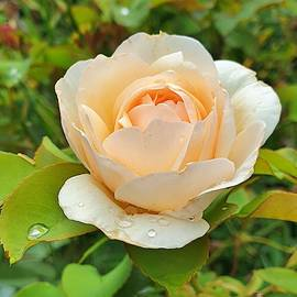 Raindrops on Roses by Andrea Whitaker