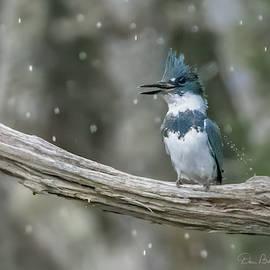 Rainsoaked Kingfisher 4634 by Dan Beauvais