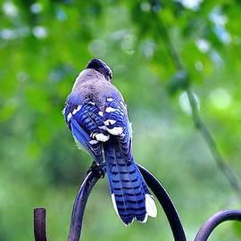 Rainy Day Blue Jay by Alida M Haslett