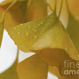 Rainy Day Ginkgo by Rachel Cohen