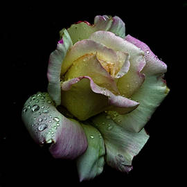 Rainy day Rose  by Rob Mclean