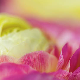 Ranunculus Close by Robert Potts