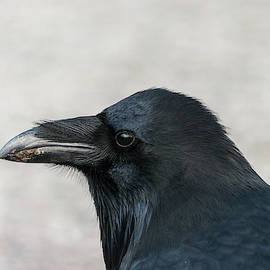 Raven - 0409 by Jerry Owens
