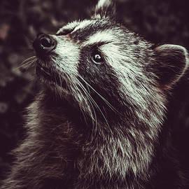 Reclusive Raccoon II Photograph by Stephen Geisel