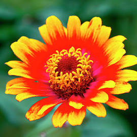 Red and Yellow Dahlia by Sally Weigand