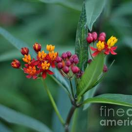Red and Yellow Joy - Late Summer Blossoms by Miriam Danar