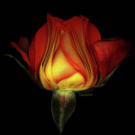 Red and Yellow Rose by Carel Schmidlkofer