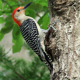 Red Bellied Woodpecker by Michelle Tinger