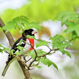 Red breasted grosbeak hiding in plain sight by Geraldine Scull