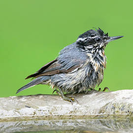 Red-Breasted Nuthatch Bathtime 01 by Judy Tomlinson