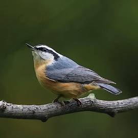 Red-breasted Nuthatch Looking Up by Marlin and Laura Hum