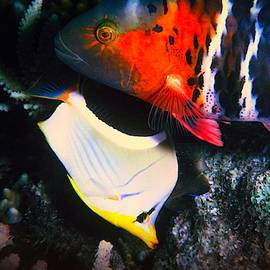 Red-breasted Wrasse and Saddleback Butterfly by Christina Ford