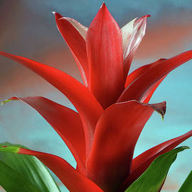 Red Bromeliad by Terence Davis
