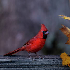 Red Cardinal In Fall Yellow Leaves by Dan Friend