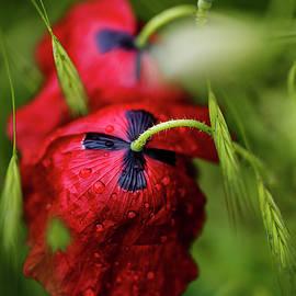 Red Corn Poppy Flowers with Dew Drops by Nailia Schwarz