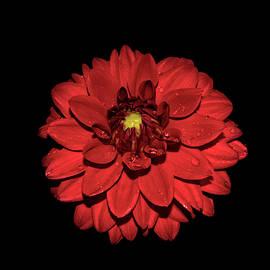 Red Dahlia 017 by George Bostian