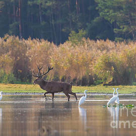 Red Deer And Egrets In Lake by Arterra Picture Library