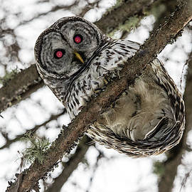 Chris Artist - Red Eyed Barred Owl