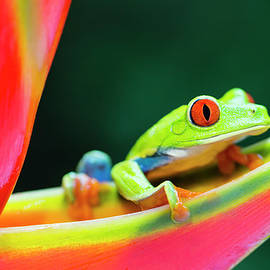Red-eyed Tree Frog Climbing On by Pchoui