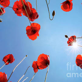 Red Field Poppies by Arterra Picture Library