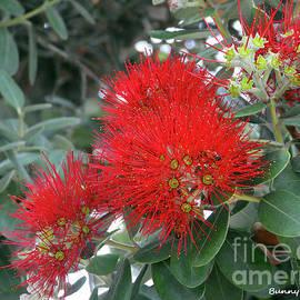 Red Flowering Gum Tree by Bunny Clarke