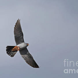 Red-footed Falcon by Mats Janson