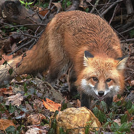 Red Fox Dmam0049 by Gerry Gantt