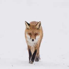 Red Fox in Snow by Toby Luxberg