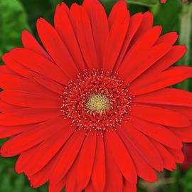 Red Gerber Daisy by Allen Beatty