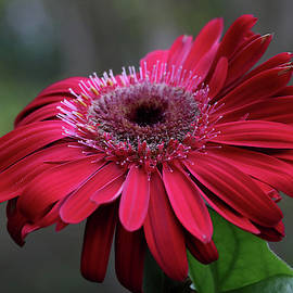Red Gerbera Daisy by Trina Ansel