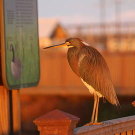 Red Heron 2 by Christy Pooschke
