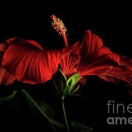 Red Hibiscus 2 by Ann Garrett