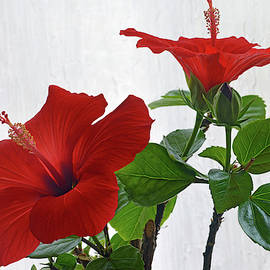 Red Hibiscus Duo by Terence Davis