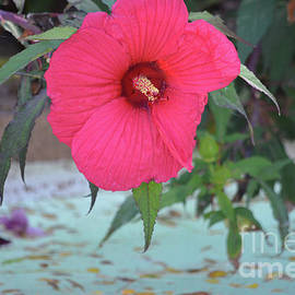 Red Hibiscus Growing Over A Pond by Ruth Housley