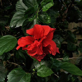 Red Hibiscus by John Trommer